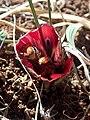 Romulea monadelpha Hantham 03.jpg