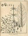 Ropourea guianensis Aublet 1775 pl 78.jpg