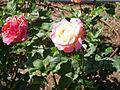 Rosa 'Luarca' P. Dot RPO.jpg