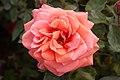 Rosa 'Song and Dance' IMG 4375.jpg