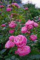 Rosa 'Walferdange' (2).jpg