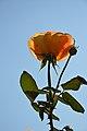 Rosa - Alipore - Kolkata 2013-02-10 4790.JPG
