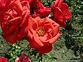 Rosa Mr Lincoln 2019-07-11 2830.jpg
