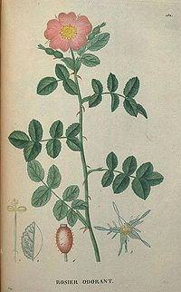 Rosa eglanteria drawing2.jpg