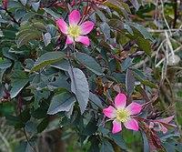 Rosa glauca A.jpg