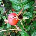 Rosa rugosa fruit (14).jpg