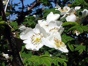 Rosa sericea - Image: Rosa sericea Pteracantha 1UME