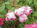 Rosa sp.64.jpg