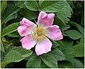 Rosa villosa inflorescence (01).jpg