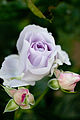 Rose, Blue Bajou4.jpg