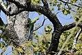 Rose-ringed parakeet (33907361984).jpg