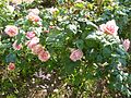 Rose 'Paul Bocuse' in Jardin des Plantes of Paris 01.jpg