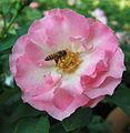 Rose (190).jpg