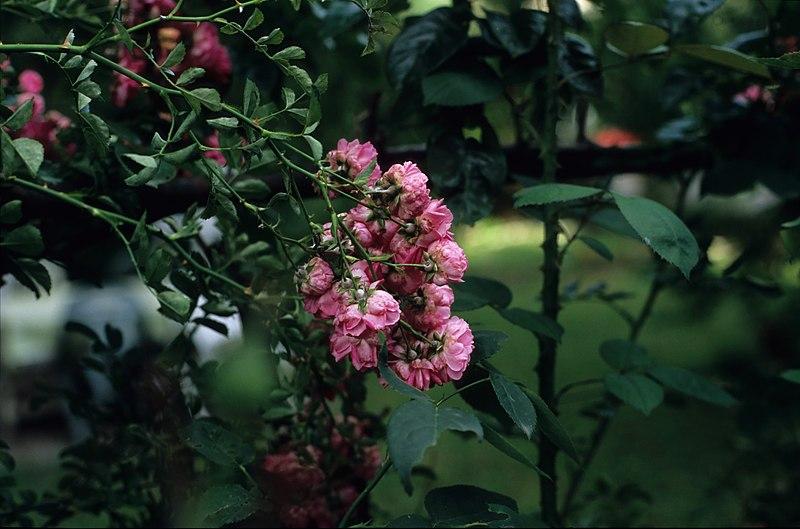 File:Roses 2.jpg