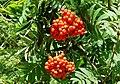 Rowan berries, Hillsborough Forest - geograph.org.uk - 929913.jpg