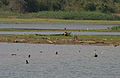 Ruddy Shelduck (Tadorna ferruginea) in Kinnarsani WS, AP W IMG 5838.jpg