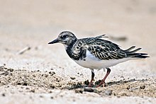 Ruddy Turnstone by Sreedev Puthur.jpg