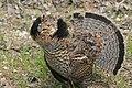 Ruffed Grouse (18645551408).jpg