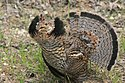 Ruffed Grouse (18645551408).jpg