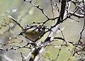 Rufous-capped Warbler (34018903655).jpg