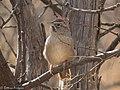 Rufous-crowned Sparrow Leslie Canyon NWR Douglas AZ 2017-12-26 11-12-04 (39301510112).jpg