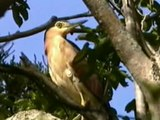 File:Rufous Night-heron samcem.ogv