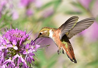 Rufous hummingbird - A juvenile male rufous hummingbird nectaring on Rocky Mountain Beeplant in Wyoming, USA