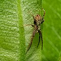 Running Crab Spider (31326592265).jpg