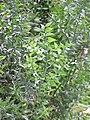 Ruscus aculeatus2.jpg