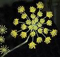 SWEET FENNEL (foeniculum vulgare) (8-19-07) canet -06 (1225810026).jpg