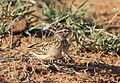 Sabota lark, Calendulauda sabota, at Mapungubwe National Park, Limpopo, South Africa (18126521528).jpg