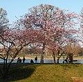 Sakura am Rhein - panoramio.jpg
