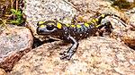 Salamandra corsica, Evisa, Corse.jpg