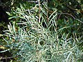 Salix exigua (5001878120).jpg