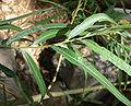 Salix exigua 10.jpg