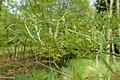 Salix exigua kz04.jpg