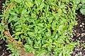 Salvia microphylla in Jardin des 5 sens.jpg