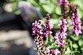 Salvia nemorosa Sensation Rose 2zz.jpg