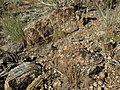 Sandberg bluegrass, Poa secunda ssp. secunda (17142474961).jpg
