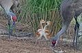 Sandhill Crane Chicks.jpg