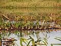 Satajan wetland, Whistling Ducks.jpg