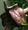 Savu python (Liasis mackloti savuensis).jpg