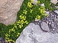 Saxifraga aizoides (13436021254).jpg