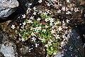 Saxifraga stellaris 3.JPG
