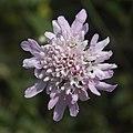 Scabiosa atropurpurea maritima-Scabieuse-Fleur épanouie-20160420.jpg