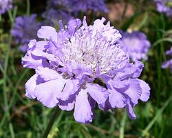 Scabieuse colombaire(Scabiosa columbaria)