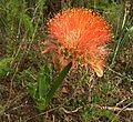Scadoxus puniceus, b, Faerie Glen Natuurreservaat.jpg