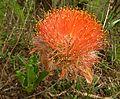 Scadoxus puniceus, c, Faerie Glen Natuurreservaat.jpg