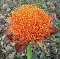 Scadoxus puniceus flower 16 08 2010.JPG