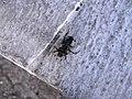 Scarab Beetle (3623029763).jpg